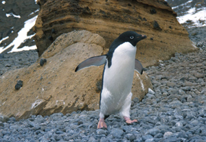 Adelie penguin rookery.