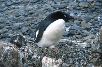 Adelie penguin incubating an egg
