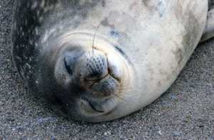 Weddell seal with wet, straight whiskers.
