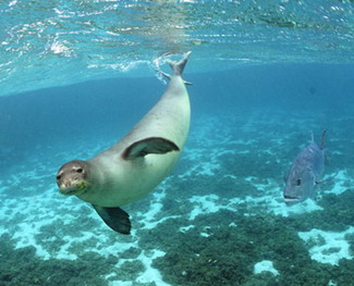 Endangered Hawaiian monk seal at Kure Atoll, only 1400 monk seals remain in the wild.