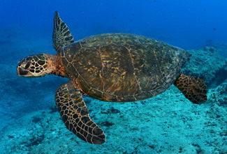 Ninety percent of threatened Hawaiian green sea turtles nest at French Frigate Shoals in the NWHI