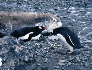 A gentoo male presenting his female with a precious rock for their nest.