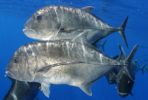 Giant trevally, Caranx ignobilis , or Ulua.