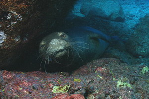 Hawaiian monk seal at Gardner Pinnacles. Credit: James Watt