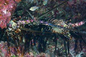 Hawaiian spiny lobster, Panulirus marginatus . Credit: James Watt