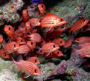 Hawaiian squirrelfish. Credit: James Watt