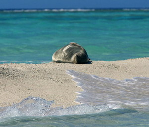 Hawaiian monk seal resting on a sand spit. Credit: James Watt