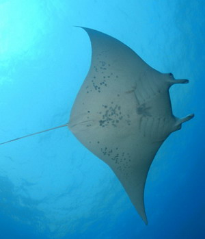 Manta ray. Credit: James Watt