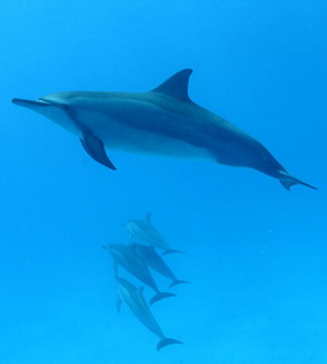 Spinner dolphin. Credit James Watt