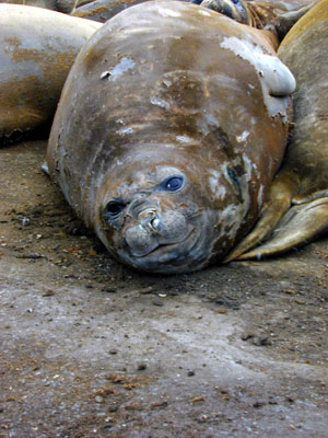 Adult elephant seals must return to shore for about 40 days during the year to molt
