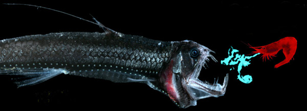 Figure 24 - The deep-sea shrimp Acanthephyra purpurea, vomits light into the face of a predator and then backflips away into the darkness. Photo credit: Edith A. Widder Harbor Branch Oceanographic Institution.