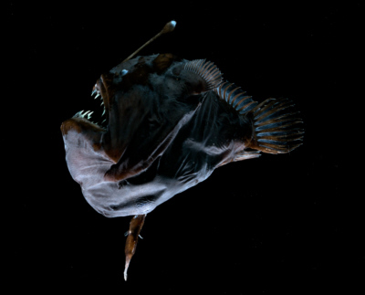 Figure 23 A female anglerfish with attached, parasitic, male. Photo credit: Edith A. Widder Harbor Branch Oceanographic Institution.