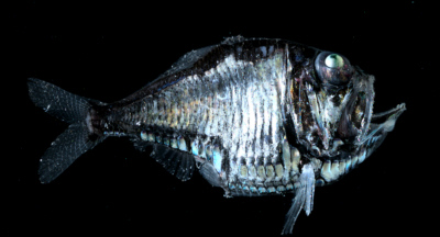 Figure 26(A) The hatchetfish, Argyropelecus affinis, uses bioluminescence as a cloaking device to mask its silhouette. Photo credit: Edith A. Widder Harbor Branch Oceanographic Institution.