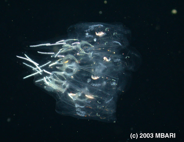 Figure 3. Cyclosalpa, a spiral chain of salps which, at a distance, resembles a medusa; a characteristic that may deter predators. Digital image from the ROV Tiburon. Copyright MBARI